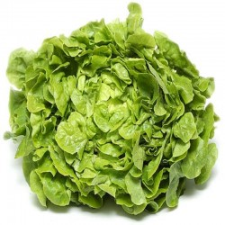 Salade Feuille de chene Verte
