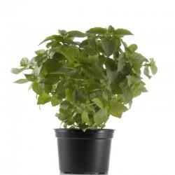 Basilic Pot